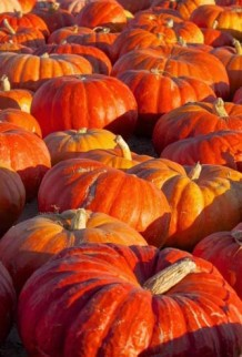 Photo of a field of large pumpkins