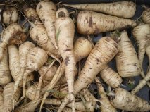 Close up photo of parsnips