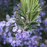 Close up photo of rosemary plant with flowers