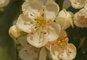 Close up photo of hawthorn flowers