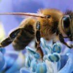 Photo of a bee on a blue flower
