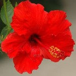 Close up photo of a hibiscus flower