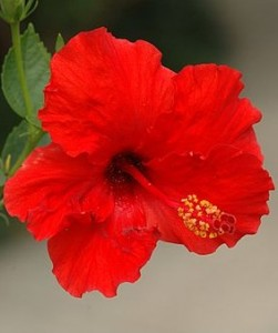 hibiscus  powerful medicine for the metabolic syndrome, Beautiful flower