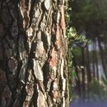 Photo of a pine tree