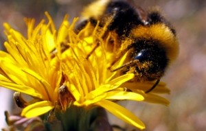 Photo of a bee on a yellow flower