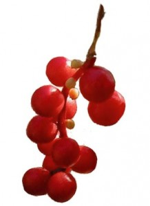 Photo of schisandra berries