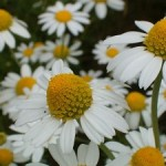Close up photo of chamomile flowers