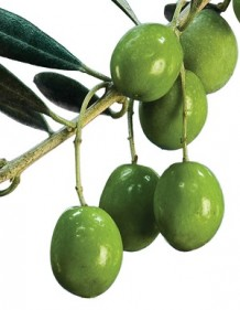 Photo of green olives on a branch