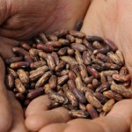 Photo of hands holding heritage seeds