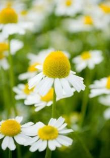 Close up photo of chamomile flowers