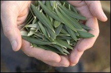 Photo of hands holding olive leaves