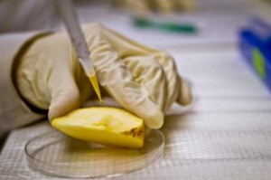 Photo of pears being examined in the lab for nanoparticles