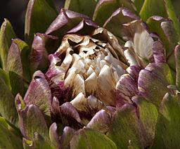 Close up photo of an artichoke