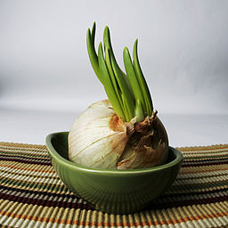 Photo of garlic spreouting in a pot