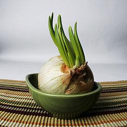 Photo of garlic spreouting in a pot