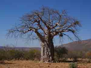 Photo of a baobab tree in Africa