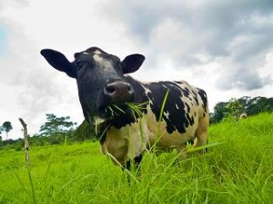 Photo of a dairy cow eating grass