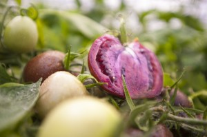 Photo of genetically modified purple tomatoes