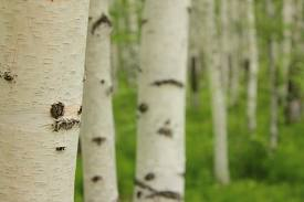 Photo of birch trees