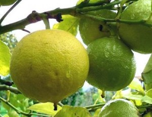 Close up photo of bergamot oranges