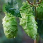 Close up photo of hops