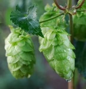 Close up photo of hops