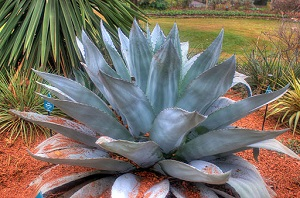 Photo of an agave plant