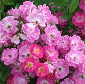 Photo of rosa chinensis