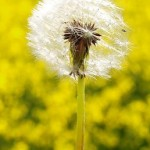 Photo of a dandelion in a field