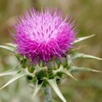 Photo of a milk thistle plant