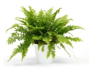 Photo of a Boston fern
