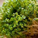 close up photo of broccoli sprouts