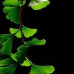 Photo of ginkgo biloba leaves on a black background
