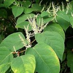 Photo of Japanese knotweed