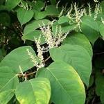 Photo of Japanese knotweed