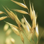 Close up photo of oats in a field