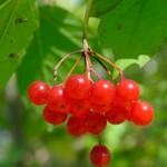 photo of crampbark berries
