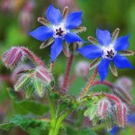 Photo of borage flowers