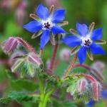 Photo of borage flowers