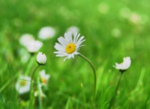 Photo of a daisy