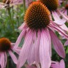 photo of echinacea purpurea flower