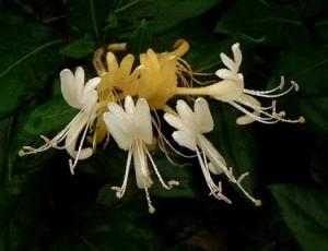 Photo of Japanese honeysuckle