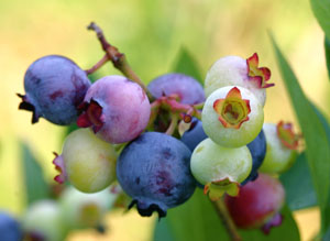 Photo of bluberries at various stages of ripeness