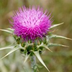 Photo of Milk Thistle plant