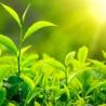 photo of green tea leaves growing