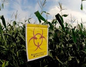 Phot of GM Corn