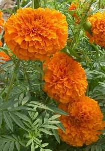 Photo of marigolds