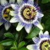 photo of passionflowers