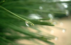 photo of pine needles