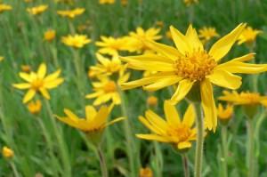 Photo of Arnica montana flowers